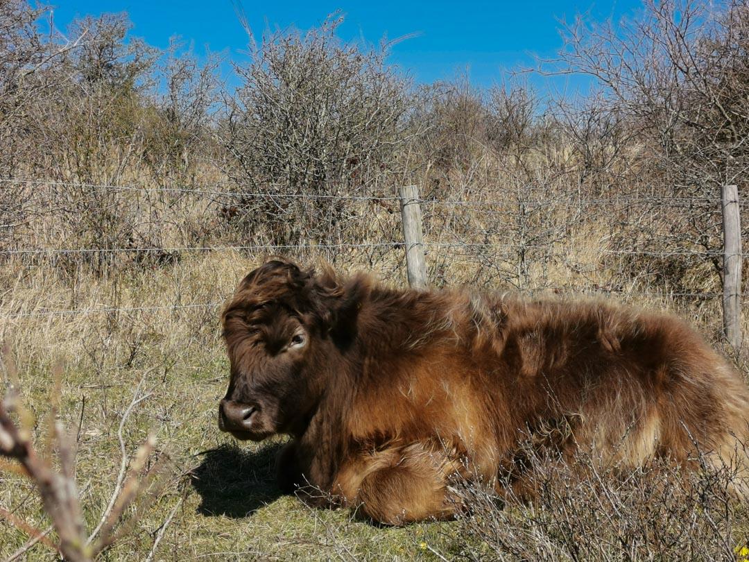 Freilaufende Kühe im Dünengebiet