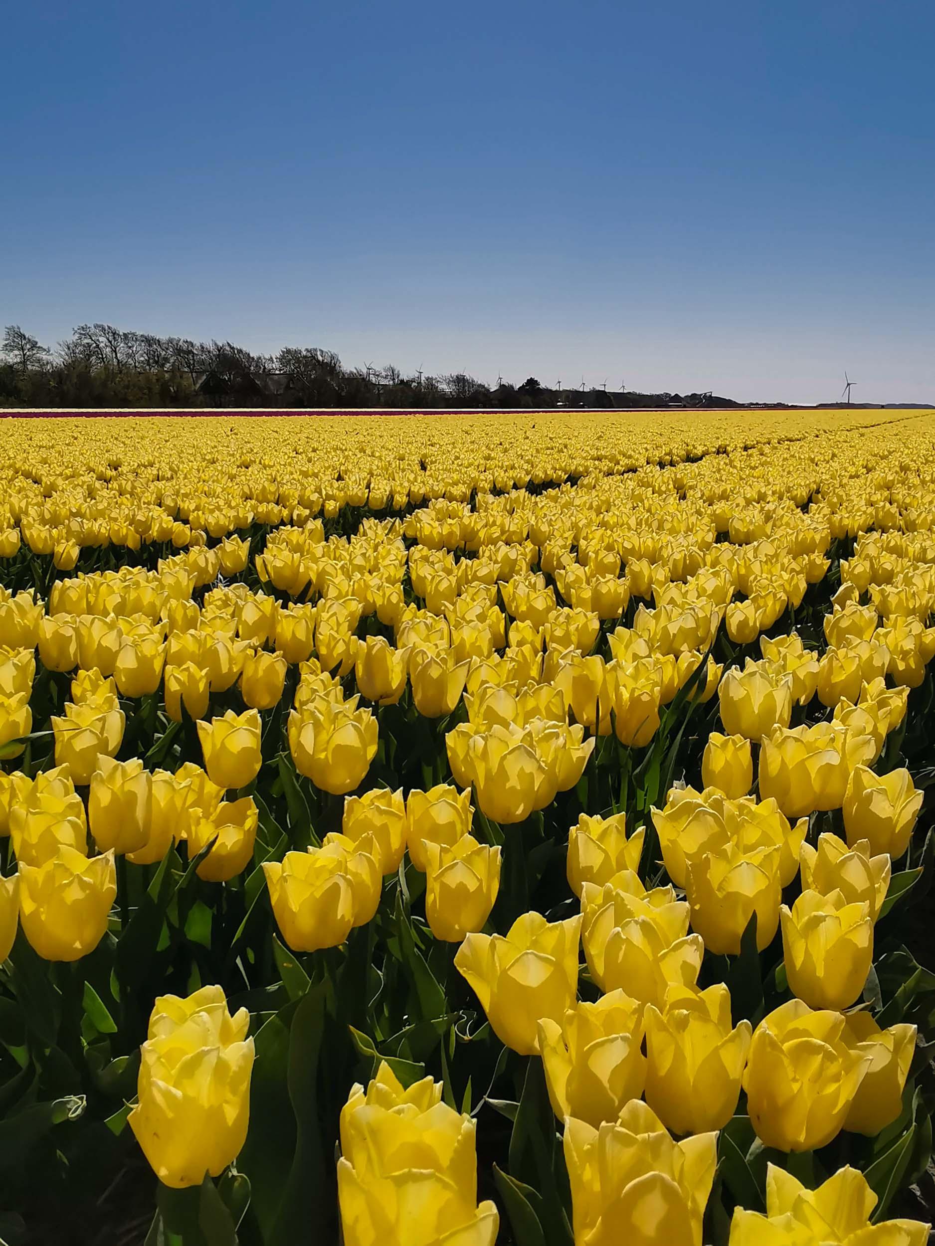In Nordholland ist eines der größten Tulpenanbaugebiete