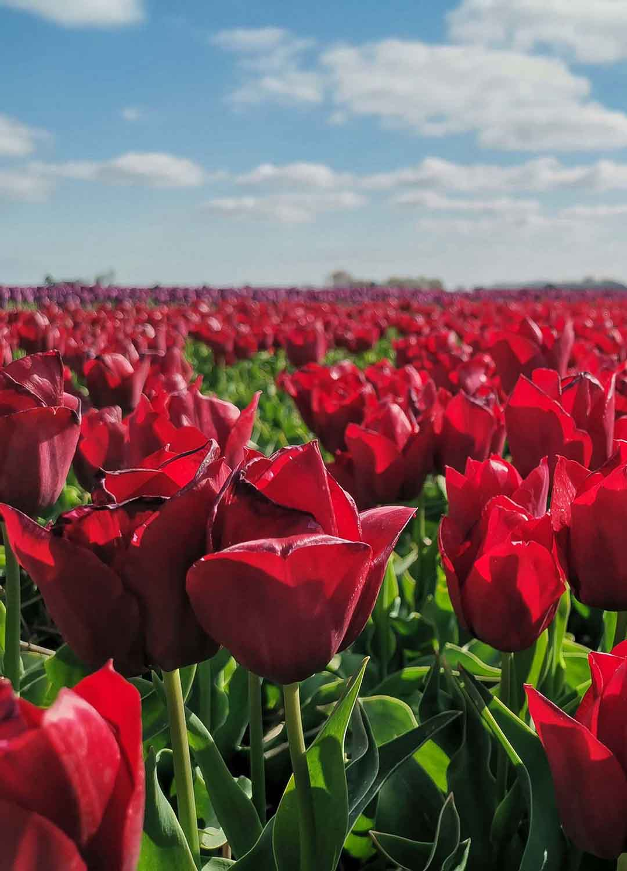Tulpensaison Nordholland