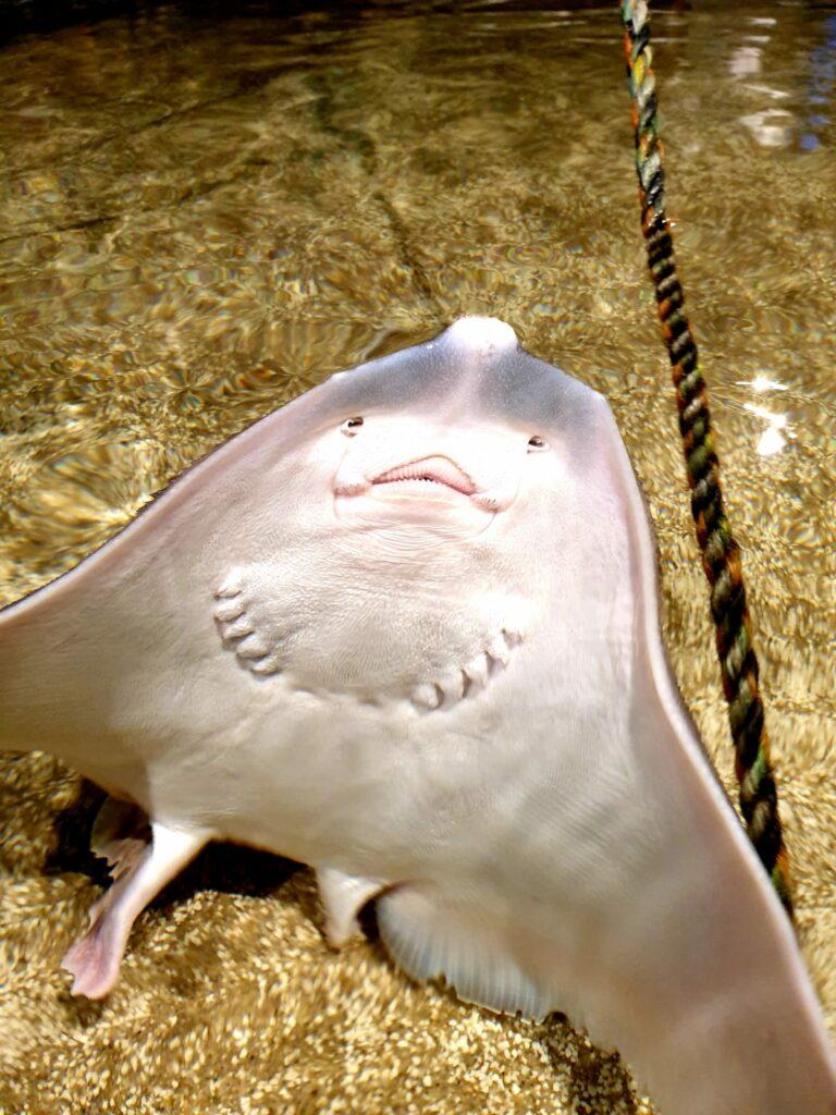 Rochen – Zee Aquarium Bergen aan Zee